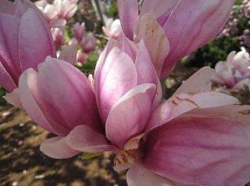 Magnolia Nunta Baia Mare